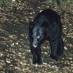 クマ対策、山にドングリをまくのは大丈夫?