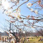 水戸の偕楽園公園 早咲きの梅、ほころび始める