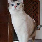 相棒を亡くした猫が飼い主に依存…2匹目に迎えた青い瞳の猫 警戒心強く心を開くまで1年半