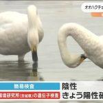仙台市内で発見のオオハクチョウ死骸 鳥インフル陽性確認