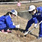 「平和の象徴」陽光桜 桜川・坂戸小 児童、30本を植樹