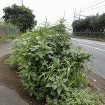 除草剤効かない外来種、定着か