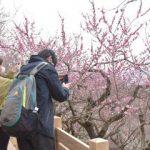 筑波山梅まつり開幕 春色、鮮やか