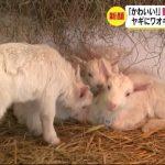 「かわいい!」 動物のベビーラッシュ ヤギの赤ちゃん27頭 ワオキツネザルの双子