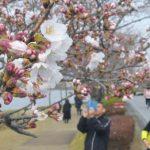 ほころぶ桜、水戸に春 観測、02年と並ぶ早さ