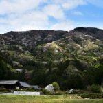 桜川のヤマザクラ 山肌染める多彩な色
