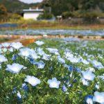 松田町コキアの里 瑠璃色の「お花畑」に ネモフィラ8千株咲く