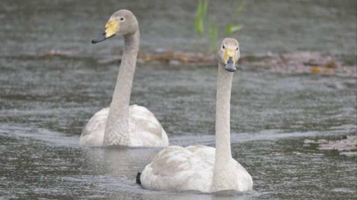 ハクチョウ2羽、置いてけぼり? 渡りの季節も帰らず 水戸・中沢池公園