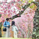 公園染める八重桜の大輪 那珂・静峰