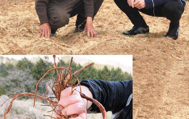トロロアオイ「生・消」で守る 寄付募り産地維持へ奮闘 埼玉県小川町