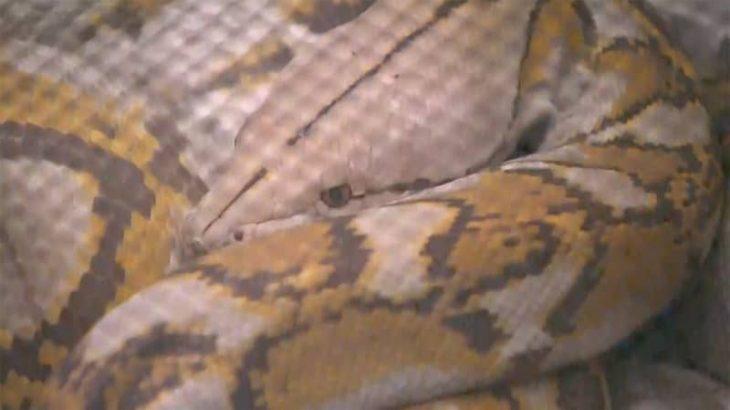 飼い主が販売業者に譲渡 発見されたアミメニシキヘビ