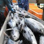 浜に活気 待望の初ガツオ 大船渡市魚市場で水揚げ