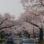 日立市 サクラ並木植え替え 樹勢衰え、費用公募へ