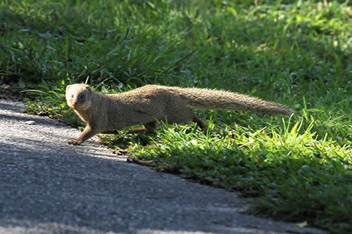 マングース、飛ぶ鳥も襲っていた ノグチゲラなど被害「防除区域の拡大を」 森林総合研