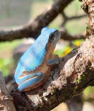 背中「青い」カエル 茨城・鹿嶋で発見「びっくり」