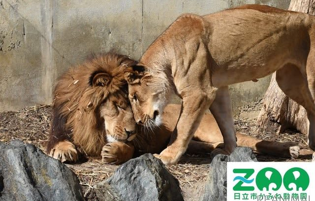 日立市かみね動物園、「猛獣舎」リニューアルに向けてクラウドファンディングを開始…ふるさと納税を活用