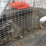 茨城・五霞 アライグマ捕獲急増 食害や破損 21年度、既に15頭