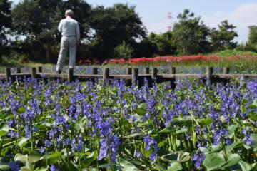 守り育てたミズアオイ見頃 茨城・潮来の水郷トンボ公園