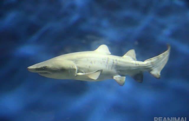 シロワニの赤ちゃん一般公開、他のサメと同じ水槽へ…茨城・大洗水族館