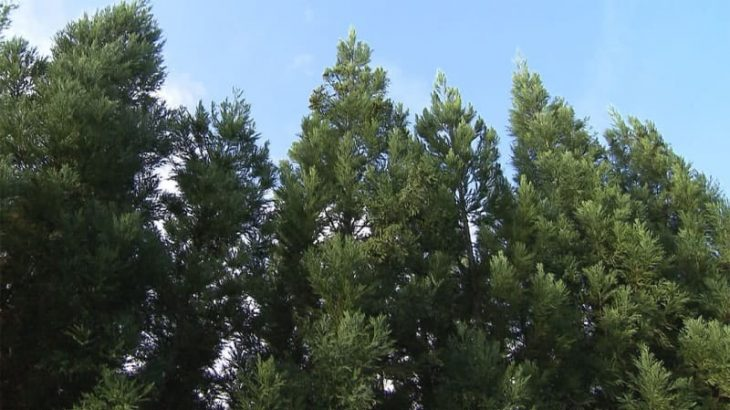 見直される「木」 エリートツリーが救世主に?