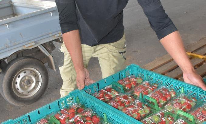 真っ赤な大粒 イチゴ出荷 茨城・鉾田